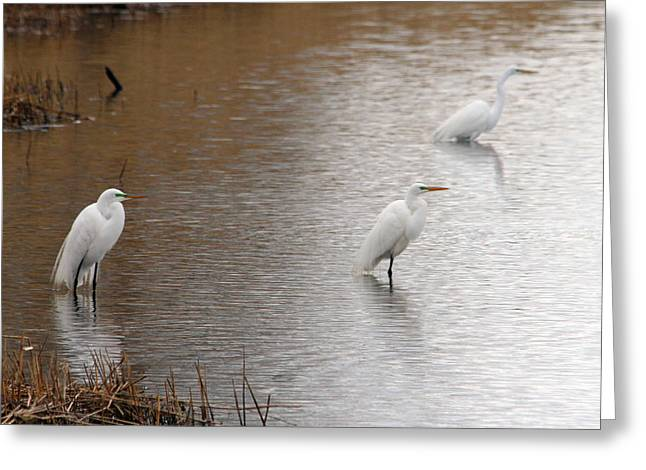 Greeting Card featuring the photograph Snowy Egret Trio by Mark J Seefeldt