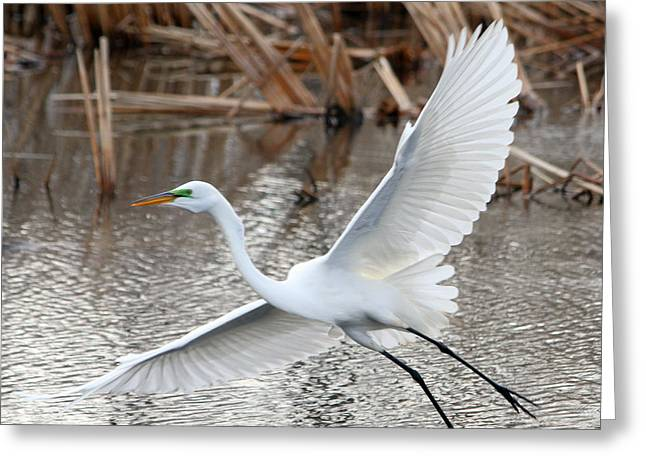 Greeting Card featuring the photograph Snowy Egret Wingspan by Mark J Seefeldt