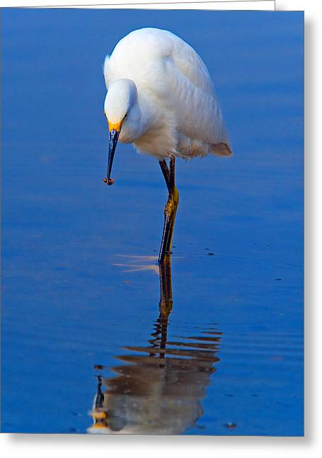 Snowy Egret.egretta Thula. Greeting Card by Eyal Nahmias