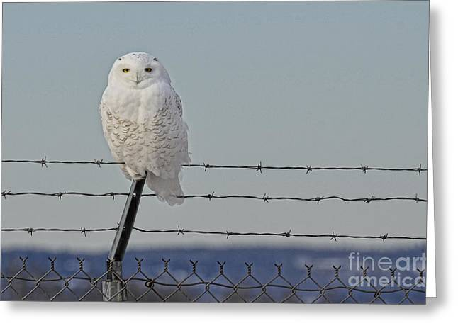 Snowy Owl 1 Greeting Card by Whispering Feather Gallery