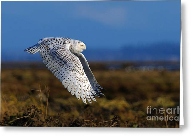 Snowy Owl 1b Greeting Card by Sharon Talson