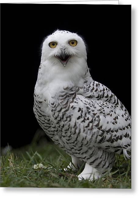 Snowy Owl Bubo Scandiacus At A Zoo Greeting Card by Joel Sartore
