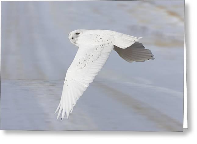 Snowy Owl In Flight In Saskatchewan Canada Greeting Card by Mark Duffy