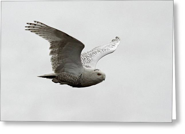 Snowy Owl In Flight Greeting Card by Pierre Leclerc Photography