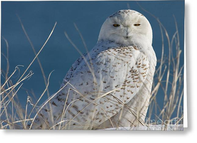 Snowy Owl Profile Greeting Card