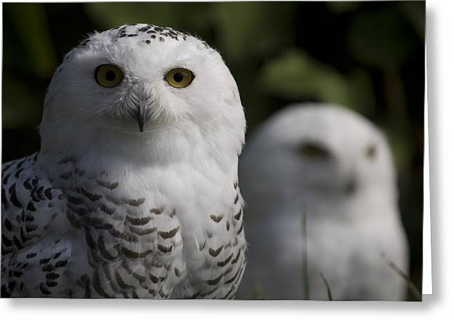 Snowy Owls Bubo Scandiacus At A Zoo Greeting Card by Joel Sartore