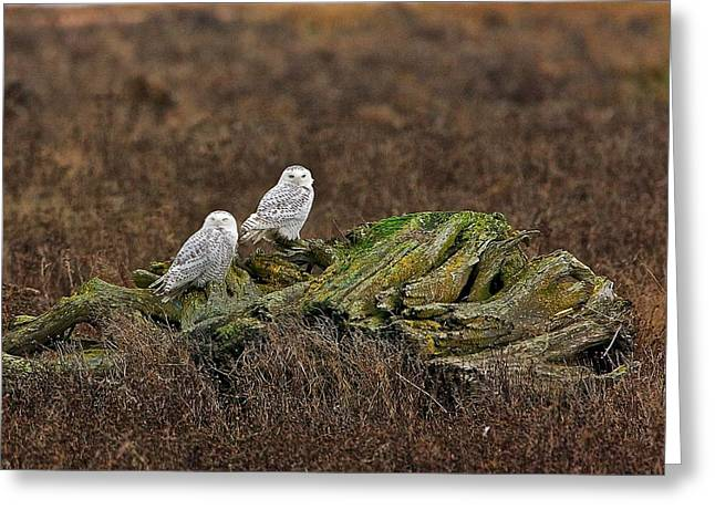 Greeting Card featuring the photograph Snowy Owls by Scott Holmes