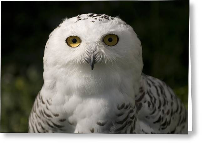 Snowy Owlsbubo Scandiacus At A Zoo Greeting Card by Joel Sartore