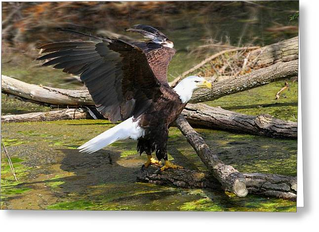 Greeting Card featuring the photograph Soaring Eagle by Elizabeth Winter