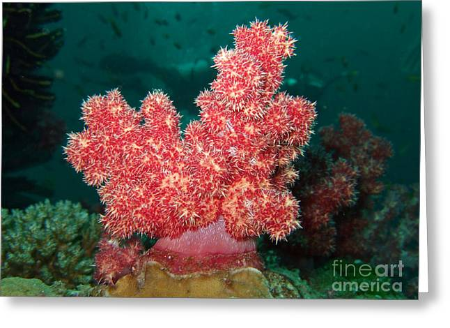 Soft Coral Greeting Card by MotHaiBaPhoto Prints