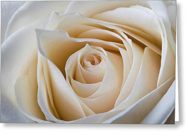 Soft Creamy Rose Greeting Card by Clare Bambers