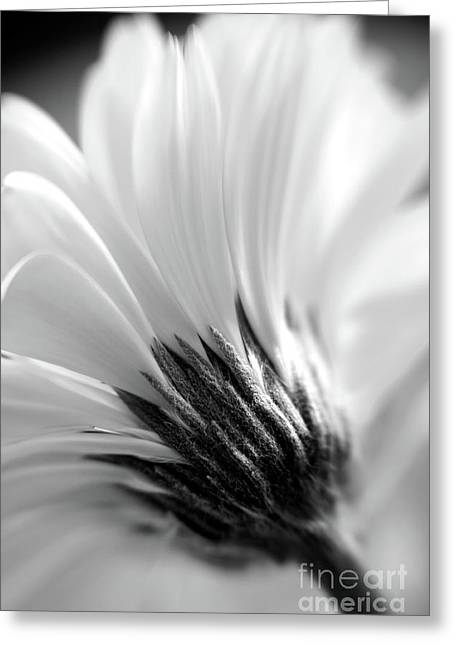 Soft Gerbera Greeting Card