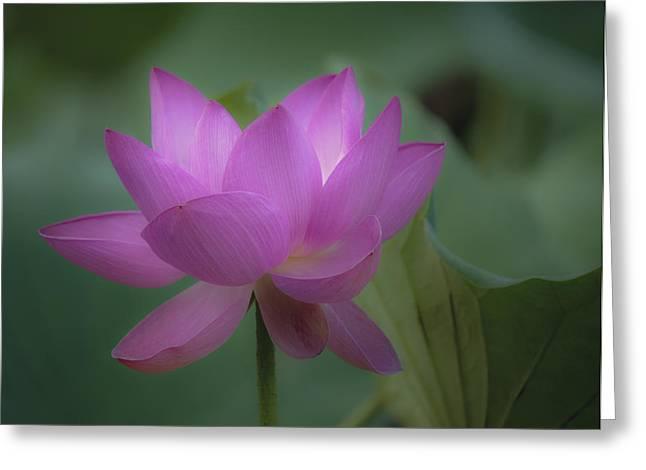 Soft Lotus Greeting Card