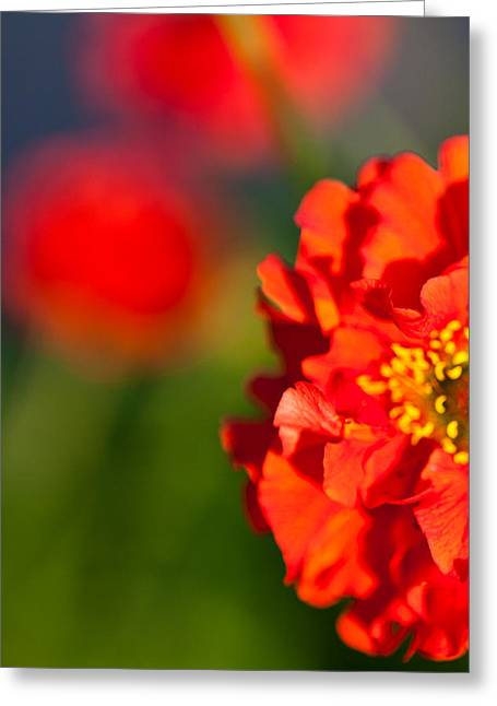 Soft Red Flower Greeting Card