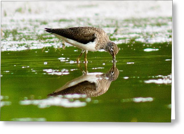 Solitary Sandpiper Greeting Card