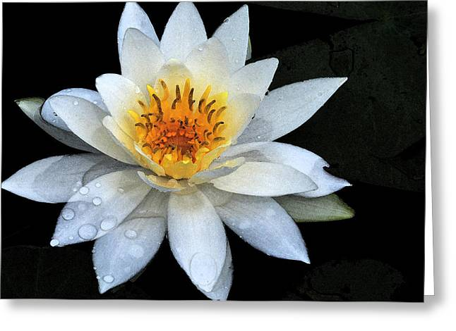Solo Water Lily Greeting Card