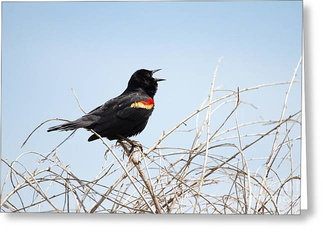 Song Of A Red-winged Blackbird Greeting Card by Ellie Teramoto