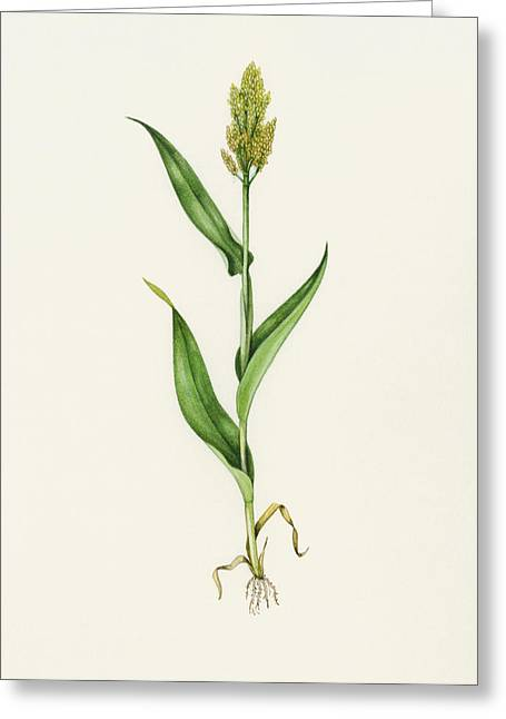 Sorghum (sorghum Bicolor), Artwork Greeting Card by Lizzie Harper