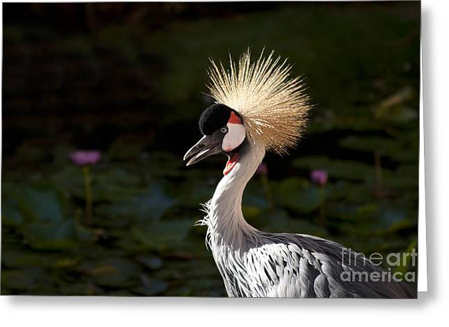 South African Grey Crowned Crane Greeting Card by Sharon Mau