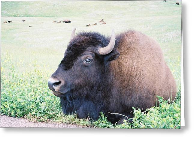 South Dakota Bison Greeting Card