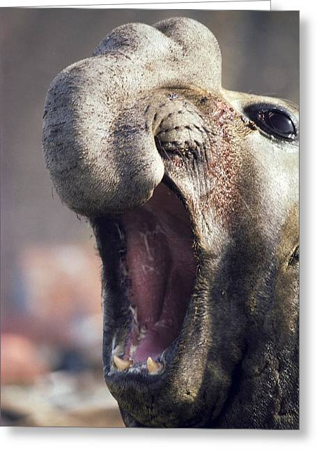 Southern Elephant Seal Roaring Greeting Card by Peter Scoones