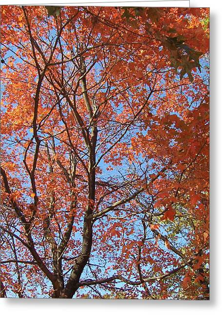 Southern Illinois Maple Greeting Card by Paul Louis Mosley