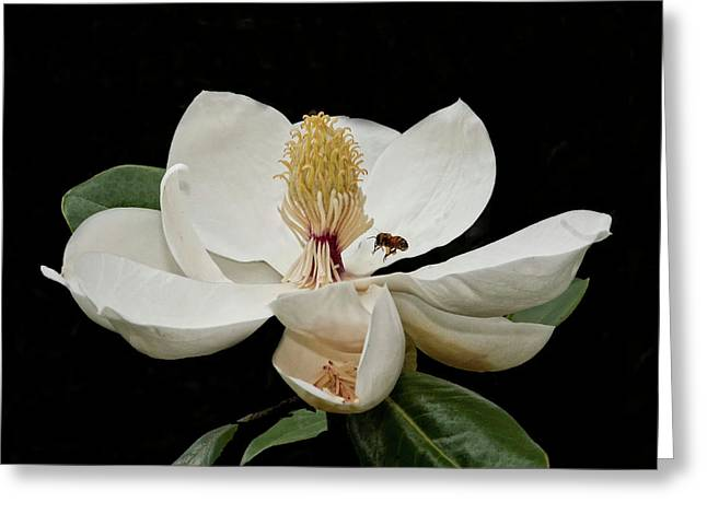 Southern Magnolia With Bee Greeting Card