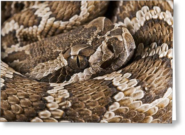 Southern Pacific Rattlesnake, Crotalus Greeting Card by Jack Goldfarb