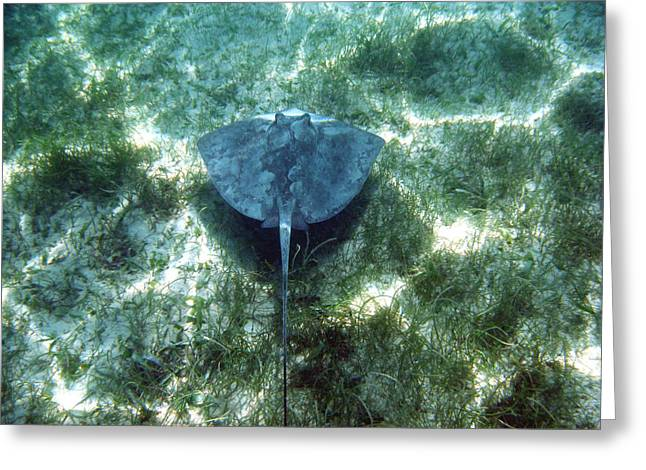Southern Sting Ray In Flight Greeting Card