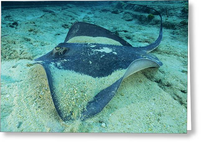 Southern Stingray Greeting Card by Alexis Rosenfeld