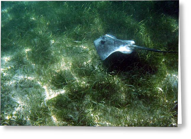 Southern Stingray Browsing About Greeting Card