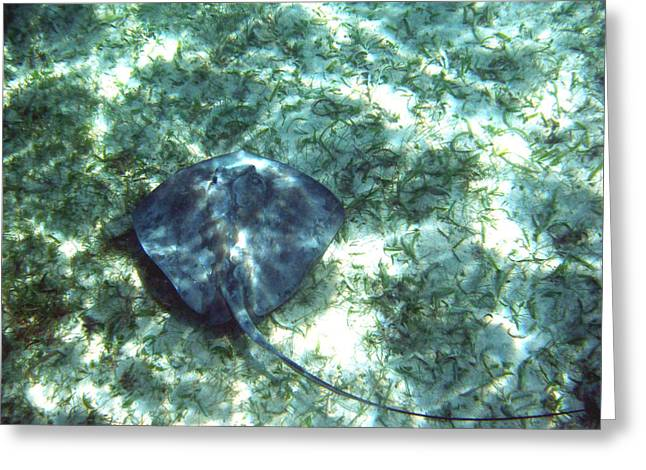 Southern Stingray Hovering Greeting Card by David Wohlfeil