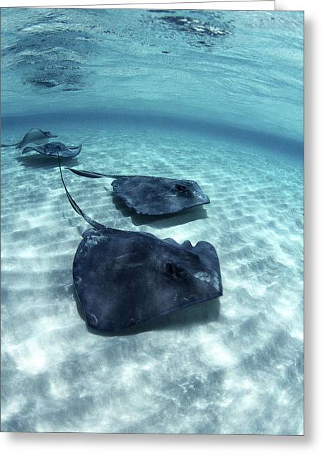 Southern Stingrays Greeting Card by Georgette Douwma