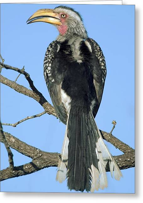 Southern Yellow-billed Hornbill Greeting Card by Peter Chadwick