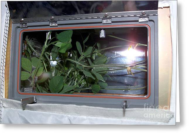 Soybean Plant Growth Experiment, Iss Greeting Card by Nasa