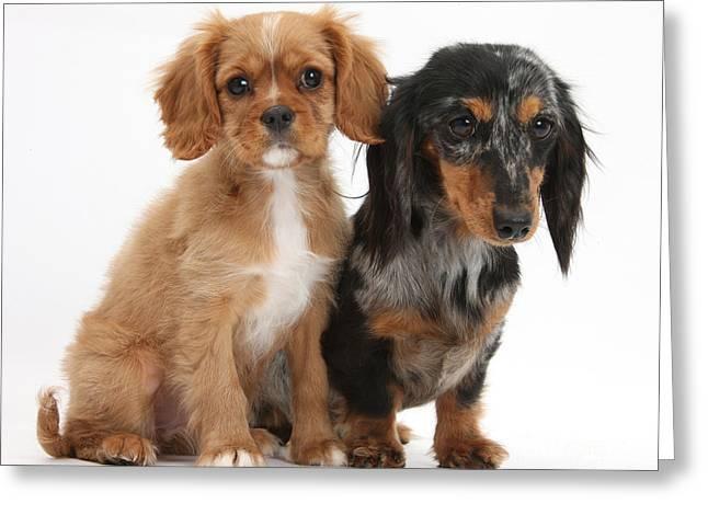 Spaniel & Dachshund Puppies Greeting Card by Mark Taylor