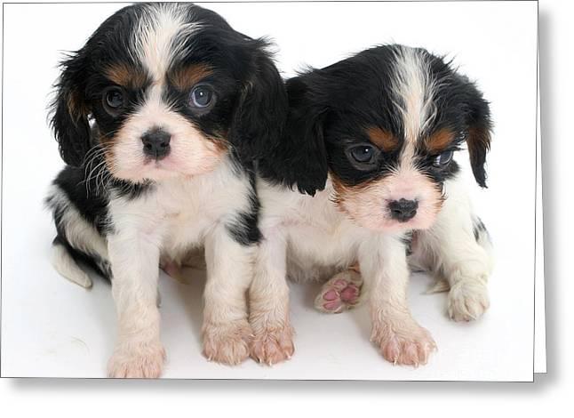 Spaniel Puppies Greeting Card by Jane Burton