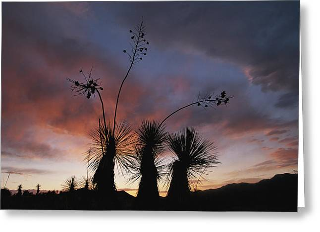 Spanish Bayonet Yucca Plants Greeting Card by Annie Griffiths