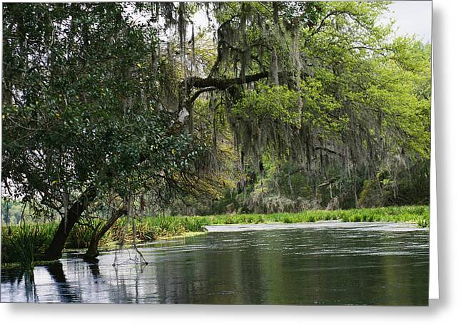 Spanish Moss Fills Tree Branches Greeting Card