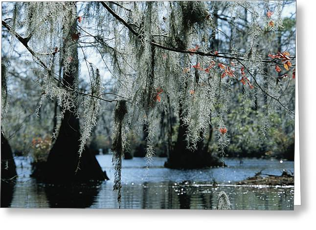 Spanish Moss Hanging From The Branches Greeting Card