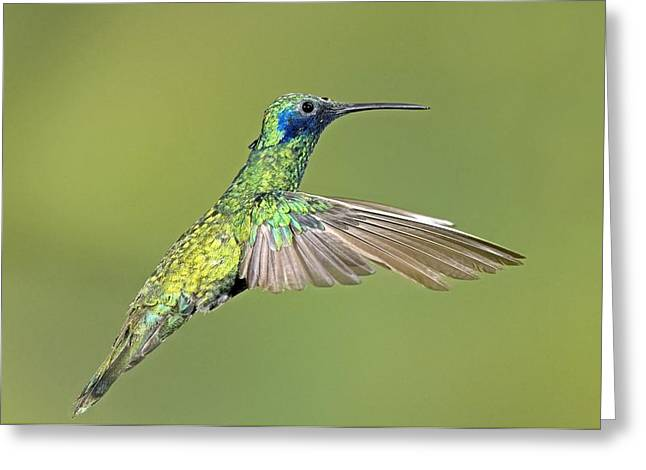 Sparkling Violetear Hummingbird Greeting Card