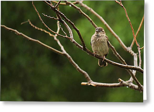 Sparrow In The Rain Greeting Card