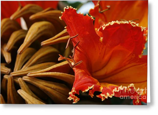 Spathodea Campanulata - African Tulip Tree - Flame Of The Forest Greeting Card by Sharon Mau