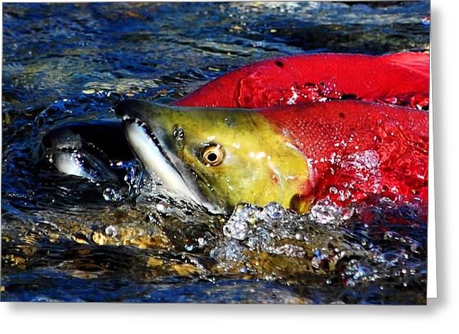 Spawning Sockeye Salmon Greeting Card