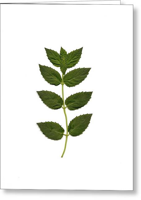 Spearmint Greeting Card by Mary Ann Southern