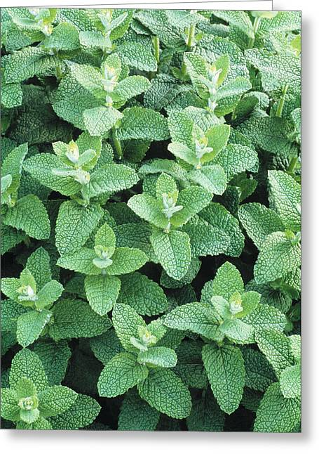 Spearmint Plants Greeting Card by Kaj R. Svensson