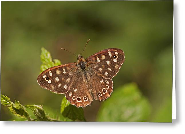 Speckled Wood Greeting Card by Paul Scoullar
