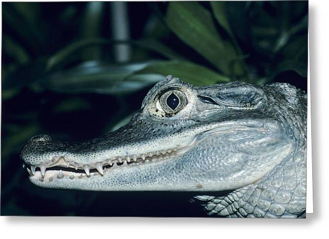Spectacled Caiman Greeting Card by David Aubrey