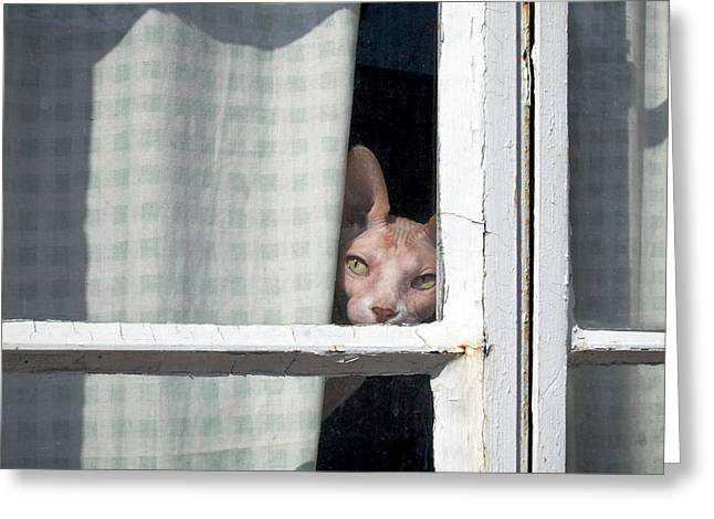 Sphynx Peeks 'round The Curtain Greeting Card by Glennis Siverson