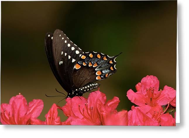 Spice Bush Swallowtail And Azaleas Greeting Card by Lara Ellis